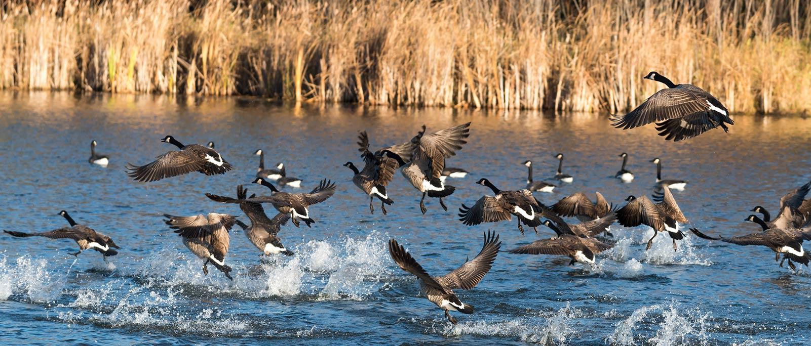 Geese Hunting Texas
